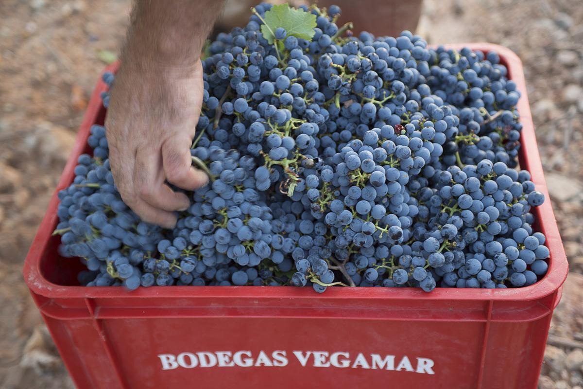 Fotografía de Reportaje. Reportaje Vendimia Bodegas Vegamar.
